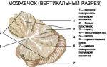 Функции мозжечка головного мозга человека, его строение
