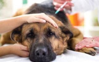 Холецистит у собак: возможные причины, симптомы и лечение