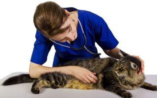 Цирроз печени у кошек симптомы – печеночная недостаточность у кота лечение