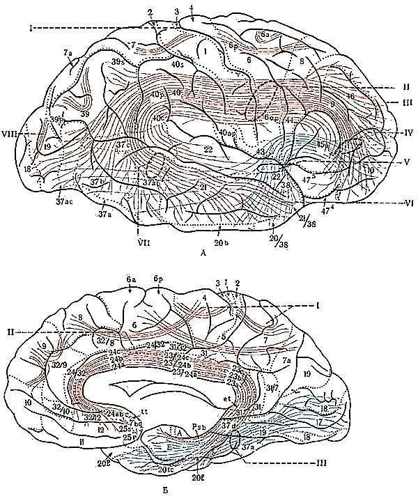 Серое вещество головного мозга и белое, за что отвечают