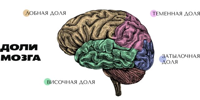 Большие полушария человеческого головного мозга