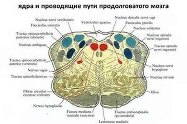 Продолговатый мозг, строение, функции и развитие
