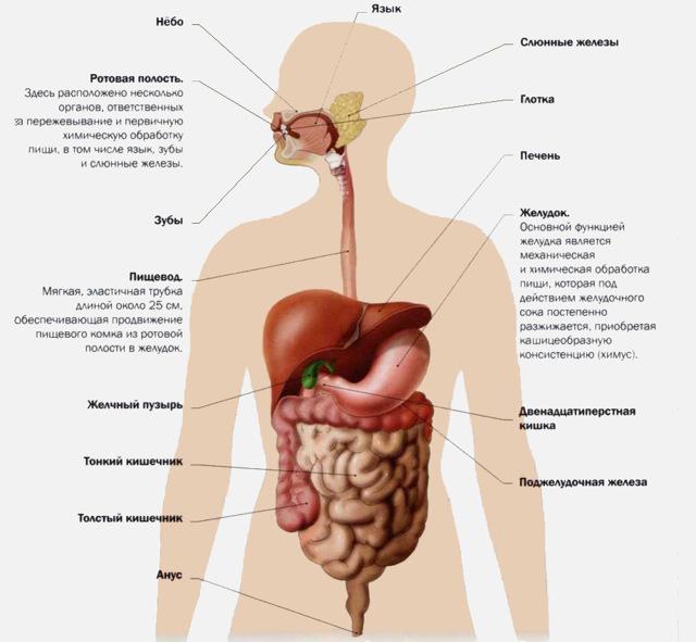 Желудок - анатомия и физиология