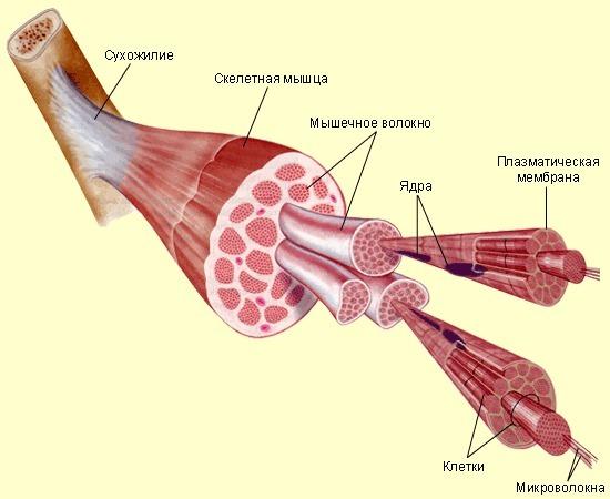 Воспаление мышц шеи: симптомы, лечение трапециевидной шейной мышцы