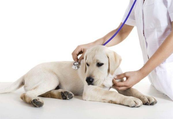 Язва желудка у собак: причины, симптомы, лечение и профилактика