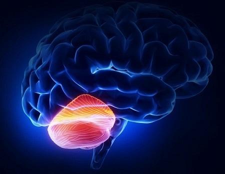 Основные отделы головного мозга: строение и функции