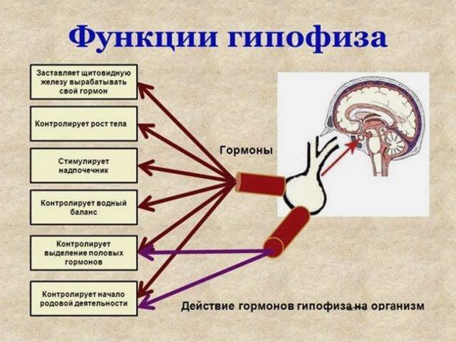 Гипофиз: что это такое?