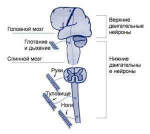 Болезнь двигательного нейрона: клиническое течение, дифференциальная диагностика и патогенетические аспекты лекарственной терапии