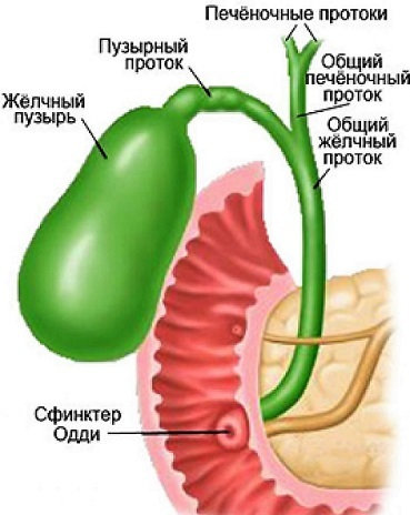 Поджелудочная железа - где находится и как болит орган человека
