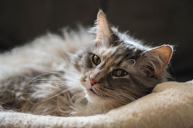 Панкреатит у кошек и правила кормления
