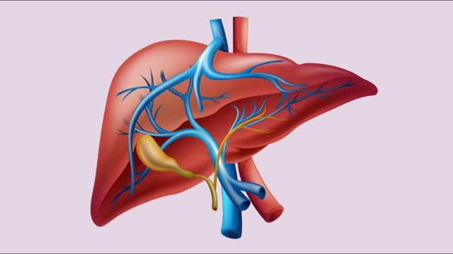Роль поджелудочной железы в процессе пищеварения, Роль печени в процессе пищеварения - Физиология питания
