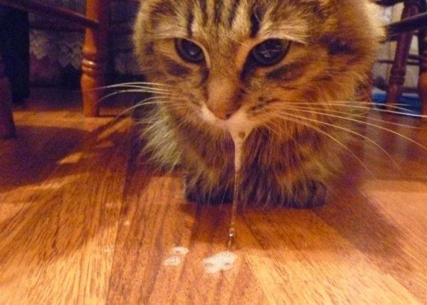 У кота рвота желтого цвета: причины, возможные заболевания, лечение, отзывы