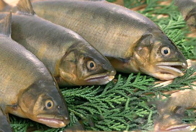 Гельминты рыб и как ими не заразиться