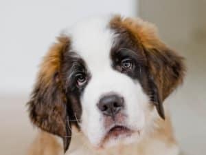 Энтерит у собаки: симптомы и лечение