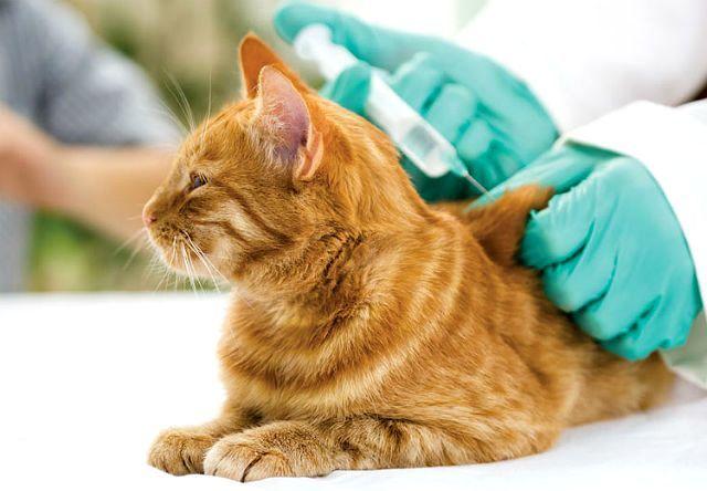 Кошачий лишай у человека: как выглядит, лечение в домашних условиях
