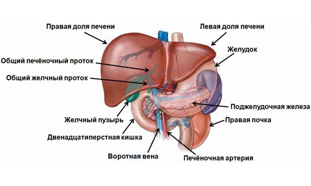 Функции и роль печени человека в организме человека