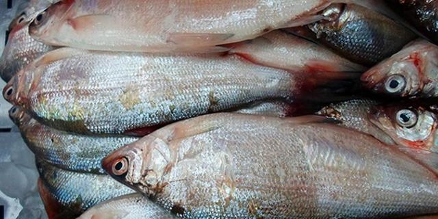 Рыба пелядь полезные свойства